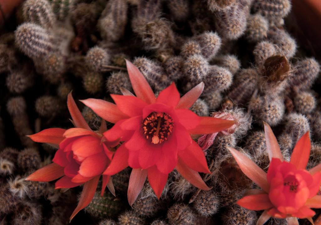 fiore di pianta grassa-3